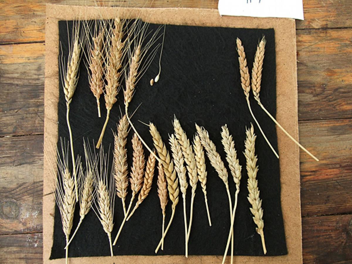 Делаем интерьерную композицию «Колоски пшеницы видео мастер-класс 235